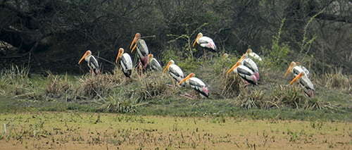 Painted-Stork by Ranjit Katoch